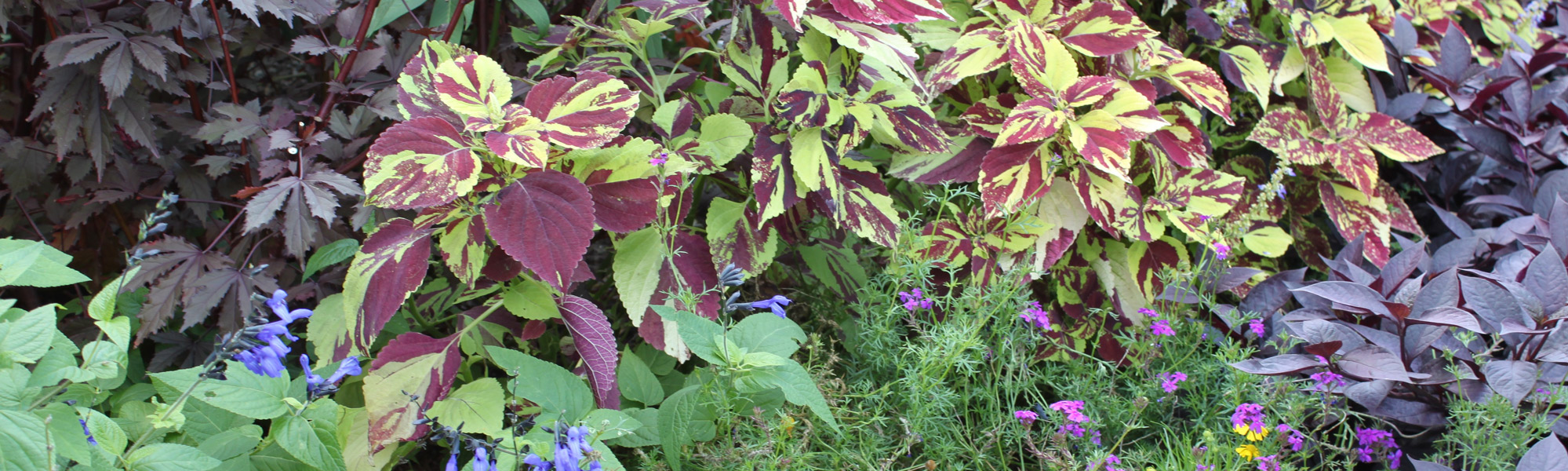 Plant Growth Coleus
