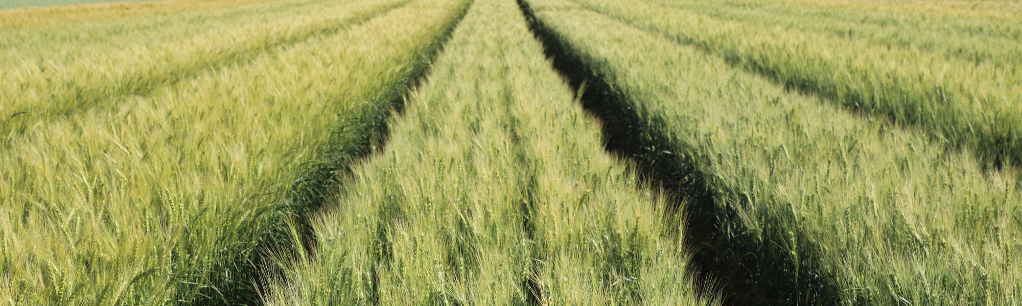 Genetics-wheat Banner
